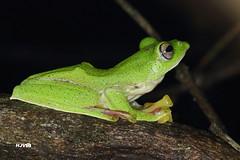Malabar gliding frog (harshithjv) Tags: hassan tamron treefrog ghat anura amphibia malabaricus rhacophoridae lissamphibia neobatrachia glidingfrog canon macro 600d canon600d frog rhacophorus 90mm bisle rhacophorinae