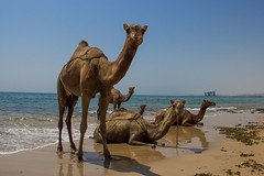 Camels strolling in front of an abandoned oil platform, Qeshm Island, Iran (berengere.cavalier) Tags: old sea abandoned beach swim island sand iran rusty camel petrol shores stroll swiming oilplatform persiangulf qeshm ormuz petrolplatform iranianoil