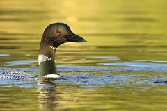 long neck loon (martinaschneider) Tags: summer lake ontario reflection bird water loon irondale commonloon salernolake