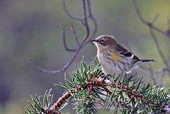 Molting Yellow-rumped Jr. (Jan Nagalski (jannagal)) Tags: nature michigan wildlife upperpeninsula juvenile warbler whitefishpoint songbird yellowrumpedwarbler birdmigration fallmigration jannagal jannagalski