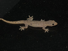 Gekkonidae Gekkoninae>Hemidactylus frenatus Asian house gecko DSCF2967 (Bill & Mark Bell) Tags: exmouth westernaustralia australia geo:town=exmouth geo:state=westernaustralia geo:country=australia geo:lon=11425453egeolat2217752sgeoalt8m 11425453e2217752salt8m taxonomy:kingdom=animalia animalia taxonomy:phylum=chordata chordata taxonomy:class=reptilia reptilia taxonomy:order=squamata squamata taxonomy:suborder=sauria sauria taxonomy:family=gekkonidae gekkonidae taxonomycommonnameasianhousegecko asianhousegecko taxonomy:genus=hemidactylus hemidactylus frenatus taxonomybinomialnamehemidactylusfrenatus hemidactylusfrenatus animal fauna lizard