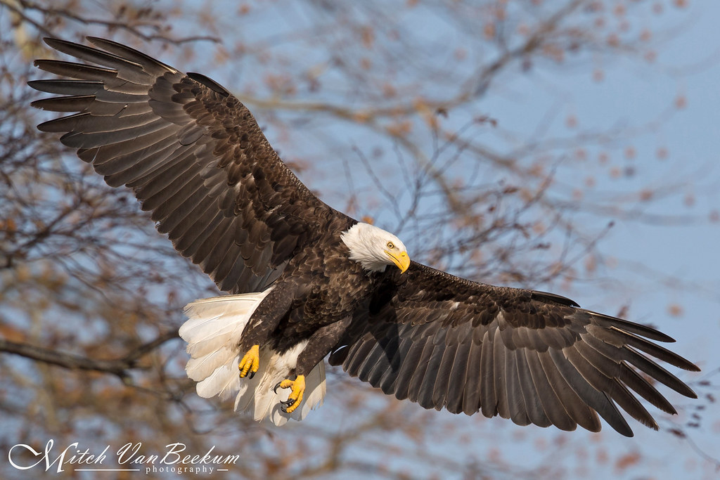"""Spread Eagle"" - American Bald Eagle"