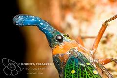 Lanternbug (Pyrops whiteheadi) (Dorota Polaczek Henuati Expeditions) Tags: macro wildlife insects borneo sabah lanternbug pyropswhiteheadi