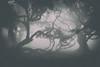 (RicardoPestana2012) Tags: fog mist tree eerie gloomy scary fanal madeira madeiraisland