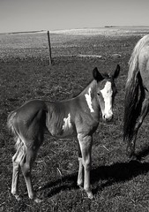 Horse (braydenweiss) Tags: horse blackandwhite bnw travel adventure adventurer explore explorer equestrian horses baby babyanimal animal phone canada canadian agriculture farm farming