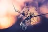 wilde Clematis !HMM! (Sascha Wolf) Tags: macromondays redux2016myfavoritethemeoftheyear wilde clematis strauch nikon tamron macro natur pflanze sonne