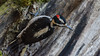 Hairy Woodpecker (vickie_s) Tags: crescentlake