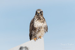 Rough Legged Hawk keeps watch