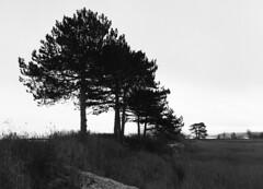 Pines (holtelars) Tags: pentax 645 pentax645 645n 6x45 smcpentaxfa 45mm f28 120film 120 film foma fomapan fomapan400 fomapan400action 400iso mediumformat analog analogue blackandwhite classicblackwhite bw monochrome filmforever ishootfilm filmphotography xtol jobo autolab atl1500 homeprocessing larsholte beach denmark danmark nivå nivåstrand trees pines explored