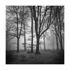 Silent Chill (richieJ 11) Tags: dartmoor trees fog mist wood blackandwhite mono squarecrop