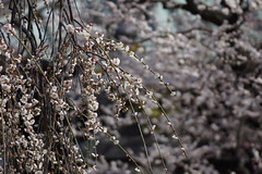 jap.0054 (Peter Hessel) Tags: 1a geo:lat=3570755140 geo:lon=13976815083 geotagged japan jpn plum plumblossom prunusmume shinto sugawara sugawaranomichizane tokyo toukyouto ueno ume yushima yushimatenmangu