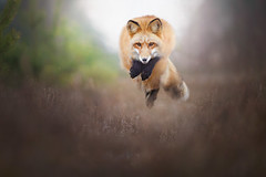 Jump Up! (Alicja Zmysłowska) Tags: red fox jumping foxjumping hunting hunt autumn foxes redfox fall brown action motion wildlife wild