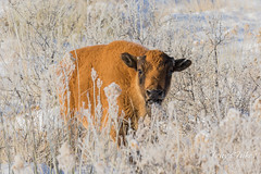 December 18, 2016 - A very young Bison in the fresh snow. (Tony's Takes)