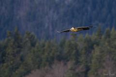 Gypaète barbu (JordiOssau) Tags: accipitridae accipitridés accipitriformes aves beardedvulture birds gypaetusbarbatus gypaètebarbu oiseaux adulte envol