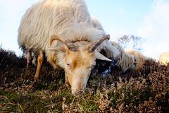 Sheep @ Hilversum (PaulHoo) Tags: hilversum holland netherlands fujifilm x70 bos forest woods winter sheep closeup heath field nature landscape 2016 animal