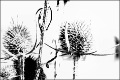 the winter dream on the meadow... (claredlgm1) Tags: plants flowers winter dry water fields bw highkey graphic abstract