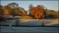 P1140100-2 - Early Morning Glow (dangle earrings) Tags: frostymorning latenovember oakleaves glow earlymorningsun birstwith panasonicdmcgx8 dangleearings sheep frost