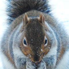 Gray Squirrel-Breakfast in the Cold (starmist1) Tags: squirrel graysquirrel food peanuts birdseed bread cold snow deck winter january