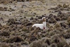 Wikunia andyjska | Vicuña
