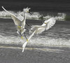 Fighting Egrets (karencook7) Tags: woneegretwaswalkingoutintothewaterildlife animals birdsocean sea egrets vacation places travel water fighting hair