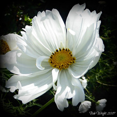 Summer White Cosmos (Bob.W) Tags: cosmos ngc npc