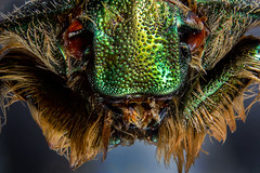 Cetonia Aurata Stacking (Little Boy 09) Tags: canon eos 60d sigma 105mm os macro extension tubes raynox dcr 250 high magnification ultramacro insect face colors sharp stack stacking focus