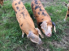 Two Pigs (arrancat) Tags: pig pigs farm piglet young agriculture animal livestock swine snout pink farming little food nature cute small mammal piglets field domestic pork group piggy hog barn grass rural pigpen nose natural ears color happy summer outdoor