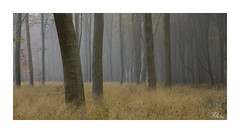 Forest Panorama (JRTurnerPhotography) Tags: jaketurner jrturnerphotography canon canon5dmarkiii canon5d canon24105mmf4lis canonlseries picture print image photo photography photographer photograph landscape landscapephotography woodland forest woods trees savernakeforest marlborough wiltshire westcountry southwest england uk unitedkingdom gb britain greatbritain europe eu autumn fall fog mist nature natural dawn sunrise wessex forestrycommission northwessexdowns aonb areaofoutstandingnationalbeauty wessexdowns marlboroughdowns