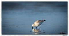 Ar reder an aod (C. OTTIE et J-Y KERMORVANT) Tags: nature animaux oiseaux limicoles bécasseaux bécasseausanderling bretagne france