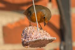 Looking for the best bit....... (Alan Partridge Aha) Tags: robin garden bird close up nikon nikkor f4p 500mm
