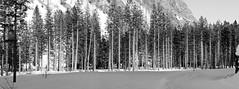 alberi - trees (immaginaitalia) Tags: balme pian della mussa valli di lanzo valleys turin torino piemonte piedmont italia italy north nord europe europa montagna mountains alpi alps graie bn bw black white bianco nero mono monochrome monocromatico greyscale scala grigi pano panoramic panoramica formato alberi trees wood bosco pineta pini pine neve snow neige allaperto outdoor