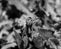 Overlooking the World (that_damn_duck) Tags: nature insect ladybug bw blackwhite