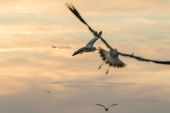 chaos (The Gaggle Photography | Jessica Nelson) Tags: birds bird seagulls seagull sea sunset sun clouds flying flight birdsinflight shore shorebirds jessicanelson wildlife nature gagglephotography