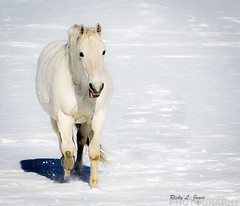 Horsing Around (Ricky L. Jones Photography) Tags: canon teamcanon horsing horse mammal animals wisconsin landscape landscapephotography winter snow gallop galloping happy