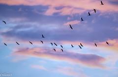 Nouveau vol de grues... vers l'est. (Crilion43) Tags: réflex france véreaux divers grues ciel paysage nature coucherdesoleil oiseaux centre objectif canon nuages tamron 1200d cher arbres bleue cendrée charbonnière mésange