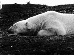 Let sleeping Ice Bears Lie (johnsinclair8888) Tags: polarbear icebear norway svalbard wildlife arctic art affinityphoto bw blackandwhite canon nik blancoynegro white bird bear sliderssunday silverefexpro
