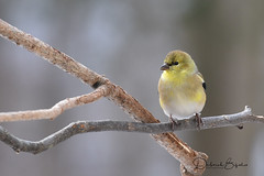 Summer's coming... (dbifulco) Tags: amgo americangoldfinch birds male molting nature newjersey outdoors wildlife winter