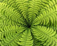 green! (marianna_m.) Tags: green fern pattern nature leaf foliage flora concentric detail serrated macro mariannaarmata p2330216