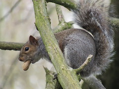 """Never speak with your mouth full"" (seanwalsh4) Tags: makemesmile happy funny nice furry nuts peanuts wild nature cute greysquirrel 7dwf sundaysfauna silent neverspeakwithyourmouthfull joking humour nutty canon sean walsh bristol"