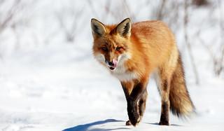 Hungry Fox (Explore)