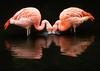 Chilean Flamingos (stevehimages) Tags: chilean flamingos twycross zoo colourful steve steveh stevehimages higgins wowzers warden 2017 grandpasden grandpas den bird nature pink
