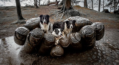 11/52  A 'handful' of Collies ! (JJFET) Tags: 11 52 weeks for dogs elk elkie border collies sheepdog