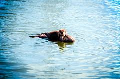 Hi there (markofphotography) Tags: morrobay californiacentralcoast californiacoast seaotter otter animal sealife seaanimal baby babyanimal babyotter motherotter morrobayembarcadero