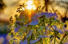Dawn Sunshot (splinx1) Tags: sunrise sun contrejour california pentaxart art flare hdr handheld hss bellyshot wildflower macro 2ring smcpm50f17 pentax pentaxkx