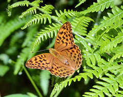 Silver washed fritillary at Ryton Woods (robmcrorie) Tags: silver butterfly woods wildlife washed warwickshire fritillary ryton sss1