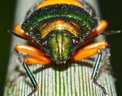 stare down bug P1160972 (Steve & Alison1) Tags: orange green beach bug was senator metallic sp airlie philia scutelleridae lampromicra sauropus