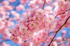 Cherrytree blooming (Joakim Berndes) Tags: pink flower tree canon cherry se stockholm rosa sverige blommor sthlm cherrytree springtime maj blooming kungsträdgården kungsan 2013 stockholmslän canon6d jberndes joakimberndes