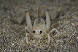 Sand-treader Cricket (Ammobaenetes sp.) - Female