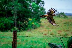 Saliendo de Escena. (cj.salgado) Tags: naturaleza verde nikon colombia colorfull meta aves vida puertolopez d610 haciendamalabares