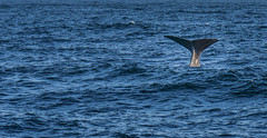 #Whale Norway (quirin.guggenberger) Tags: travel sea travelling animal animals norway meer norwegen whale wal andenes spermwhale pottwal